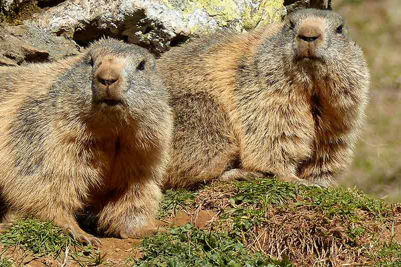 Marmottes curieuses