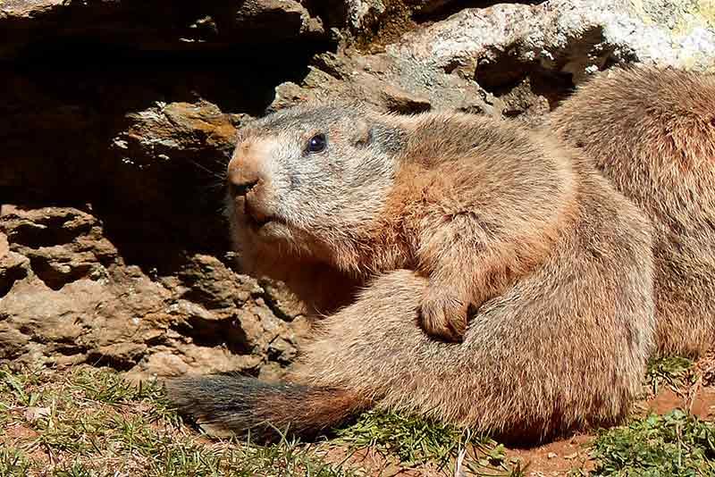 Marmotte-qui-se-gratte